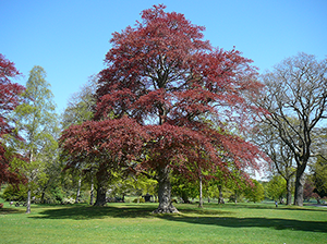 Copper Beech Tree