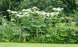 Giant Hogweed Plants