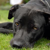 Companion Dog Show Image