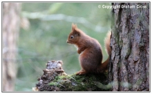 Red Squirrel at Camperdown Park