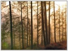 Fir Trees in Winter