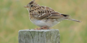 Record numbers of skylarks at Riverside Image